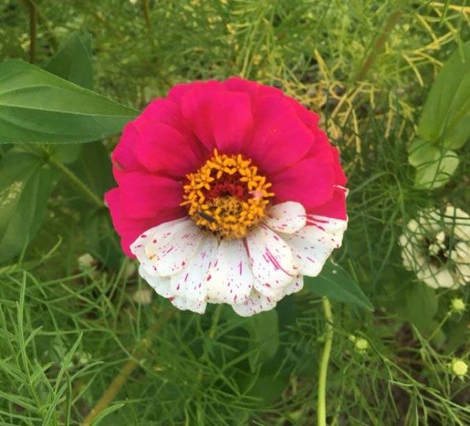 Το λουλούδι που θυμίζει Pokeball   Φωτογραφία της ημέρας