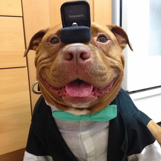 Γνωρίστε το πίτμπουλ που δεν σταματάει να χαμογελάει μετά την υιοθεσία του από καταφύγιο ζώων (5)
