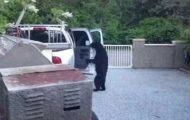 Απλά μια αρκούδα ανοίγει πόρτες αυτοκινήτου σαν άνθρωπος...