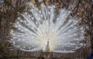 Δείτε ένα λευκό παγώνι να απλώνει τα φτερά του