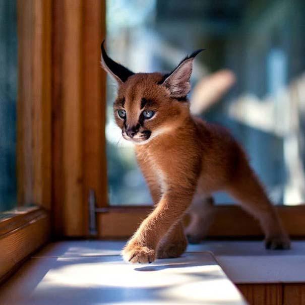 Γάτα Caracal (1)