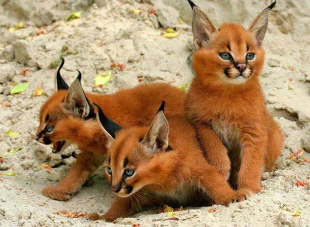 Γάτα Caracal (2)