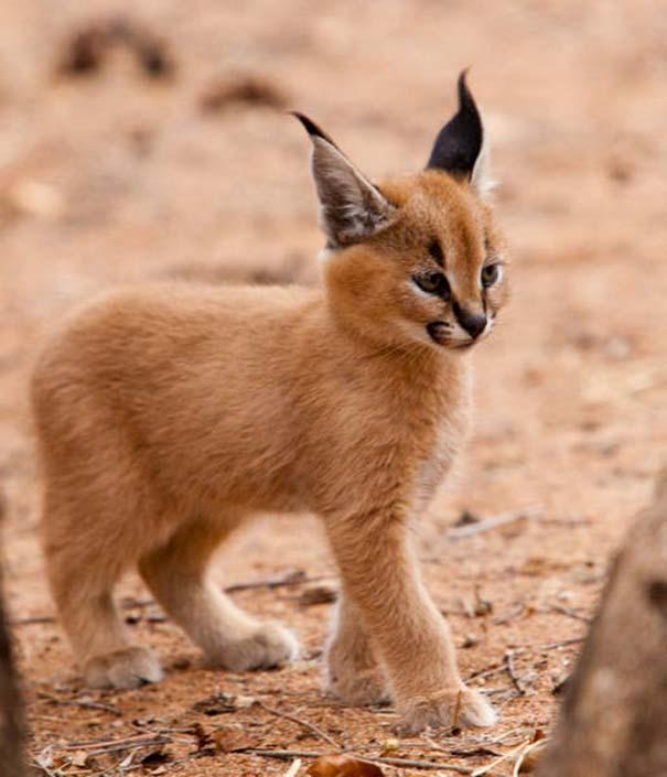 Γάτα Caracal (3)