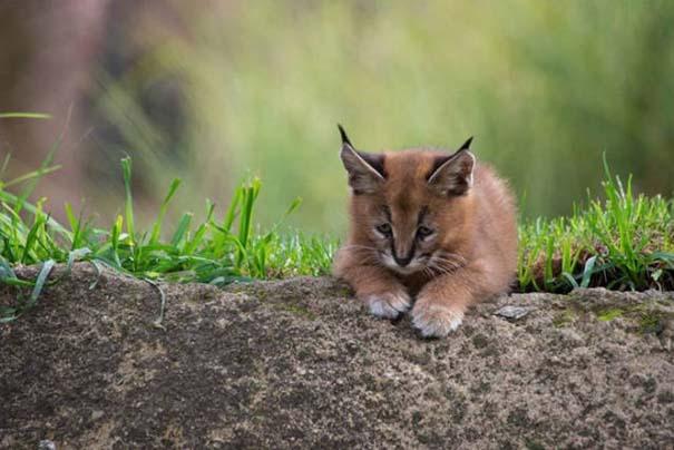 Γάτα Caracal (4)