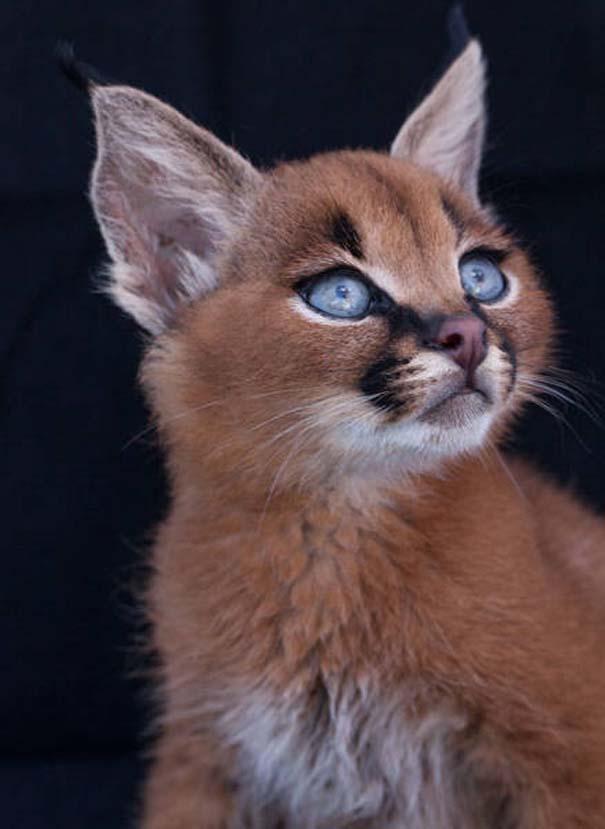 Γάτα Caracal (6)