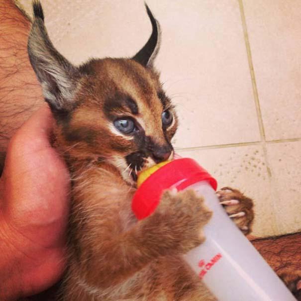 Γάτα Caracal (7)