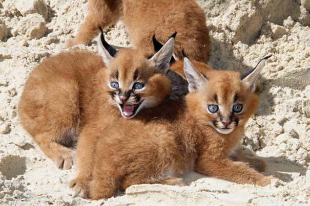 Γάτα Caracal (8)