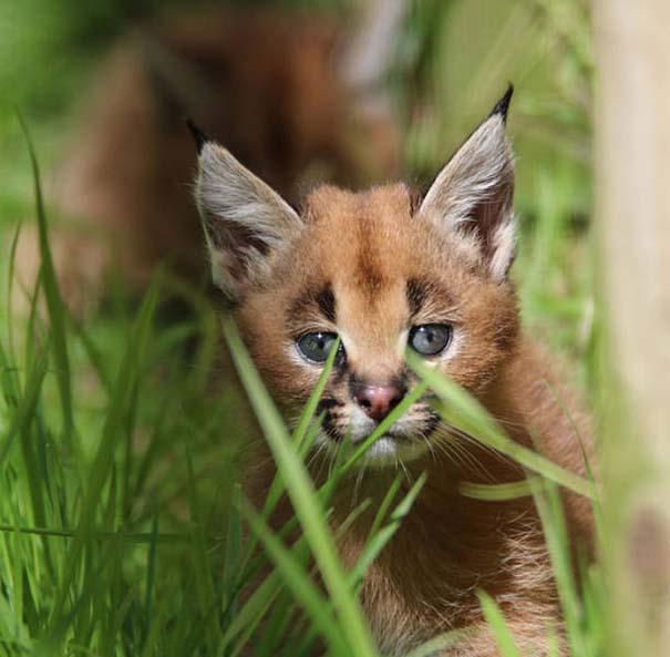 Γάτα Caracal (9)