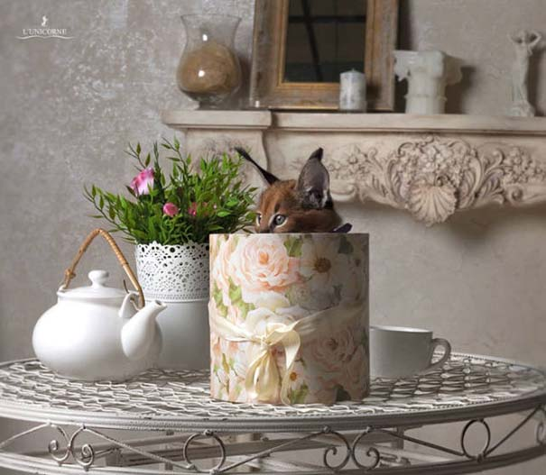 Γάτα Caracal (10)