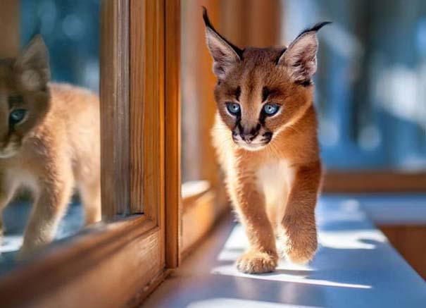 Γάτα Caracal (11)