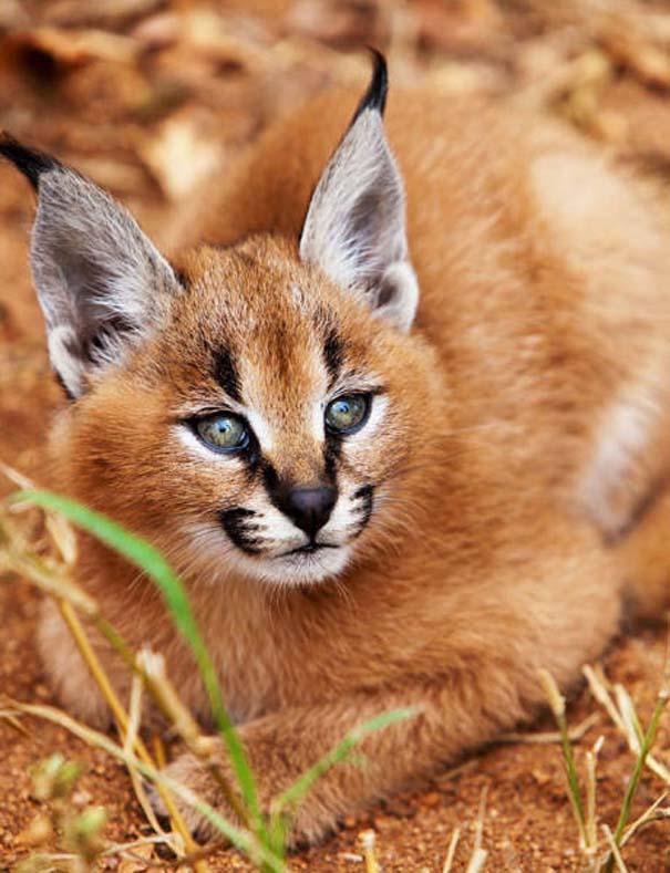 Γάτα Caracal (12)