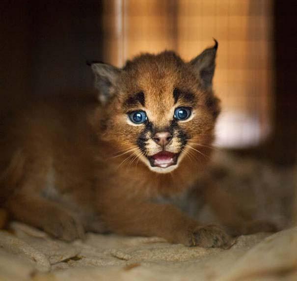 Γάτα Caracal (15)