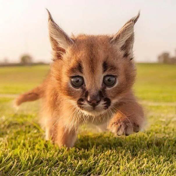Γάτα Caracal (16)