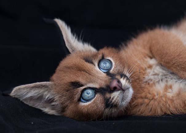 Γάτα Caracal (17)