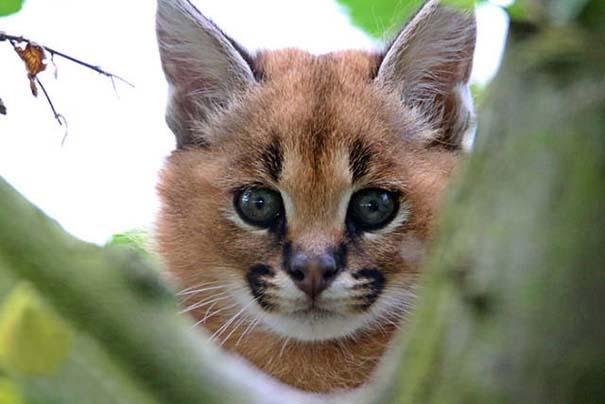 Γάτα Caracal (18)