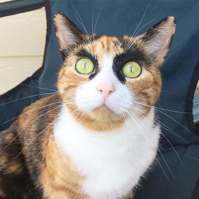 Γάτα με φρύδια και αυστηρό βλέμμα (1)