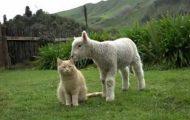 Η γάτα που νομίζει ότι είναι πρόβατο