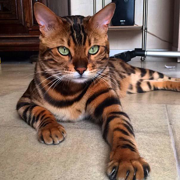 25+ από τις πιο όμορφες γάτες στον κόσμο (14)