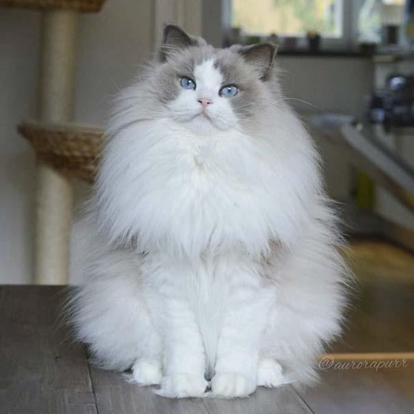 25+ από τις πιο όμορφες γάτες στον κόσμο (17)