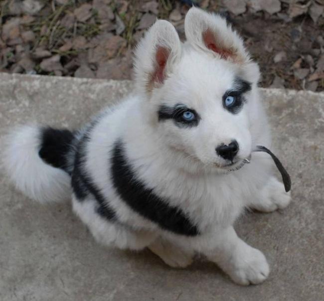 Σκύλοι με μοναδική γούνα (9)