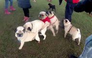 Μια συλλογή με pugs σε ξεκαρδιστικές στιγμές