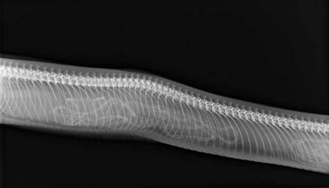 Ακτινογραφίες ζώων που κυοφορούν τα μικρά τους (3)