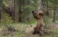 Αρκούδες ξύνονται σε δένδρα με το ιδανικό soundtrack