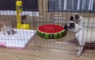 Γενναίοι σκύλοι vs Γατάκι