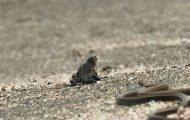 Ιγκουάνα καταδιώκεται από φίδια