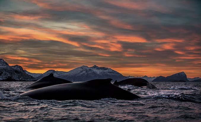 Καθηγητής βιολογίας φωτογραφίζει φάλαινες στην Αρκτική (1)