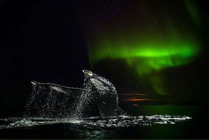 Καθηγητής βιολογίας φωτογραφίζει φάλαινες στην Αρκτική (7)