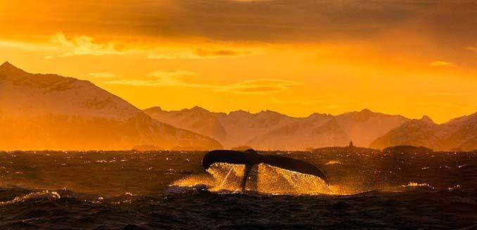 Καθηγητής βιολογίας φωτογραφίζει φάλαινες στην Αρκτική (11)