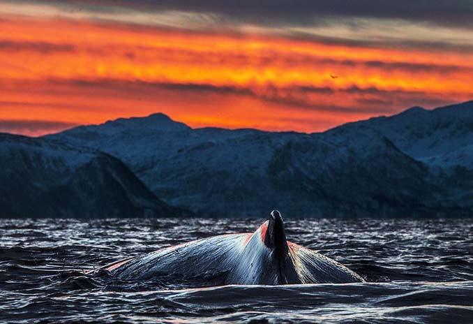 Καθηγητής βιολογίας φωτογραφίζει φάλαινες στην Αρκτική (14)