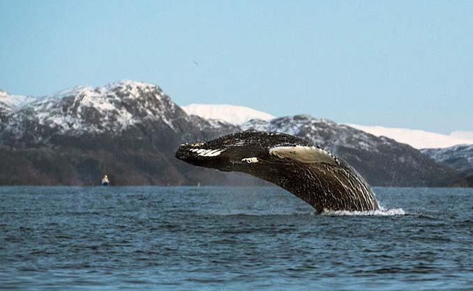 Καθηγητής βιολογίας φωτογραφίζει φάλαινες στην Αρκτική (19)