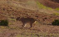 Λιοντάρια προσπαθούν να πιάσουν καμηλοπάρδαλη