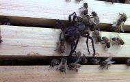 Σμήνος από μέλισσες επιτίθεται σε αράχνη μέχρι τελικής πτώσεως