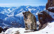 Σπάνια πλάνα με τις λεοπαρδάλεις του χιονιού των Ιμαλαΐων