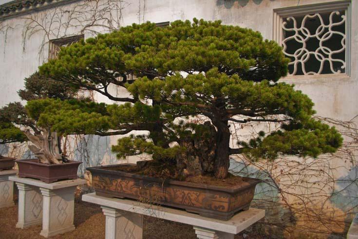 Δάση από Μπονσάι (4)