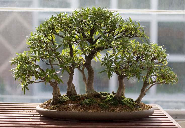 Δάση από Μπονσάι (5)