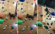 Γάτα κατακτά τοίχο αναρρίχησης