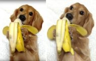 Απλά ένας σκύλος που τρώει μπανάνα σαν άνθρωπος