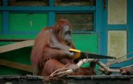 Ουρακοτάγκος μαθαίνει να χρησιμοποιεί πριόνι