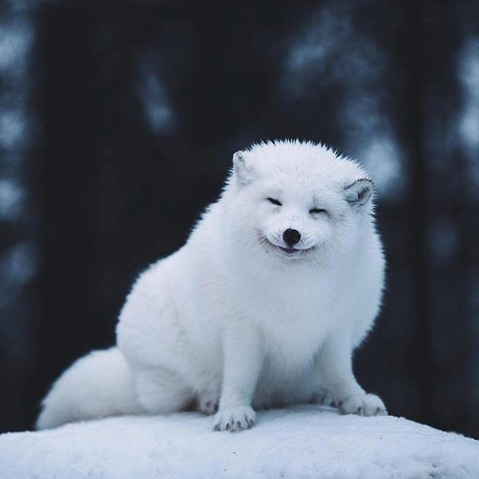 Αρκτική αλεπού | Φωτογραφία της ημέρας