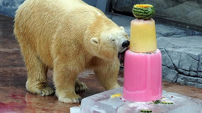 Η ξεχωριστή τούρτα γενεθλίων μιας πολικής αρκούδας | Φωτογραφία της ημέρας