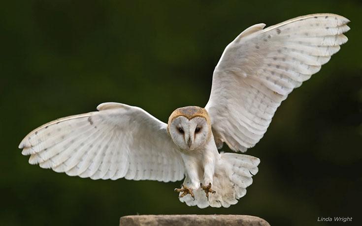 Θα πάθετε σοκ όταν δείτε πως είναι η κουκουβάγια χωρίς τα φτερά της (1)