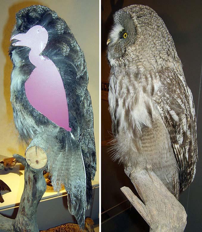 Θα πάθετε σοκ όταν δείτε πως είναι η κουκουβάγια χωρίς τα φτερά της (5)
