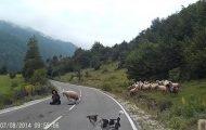Τσαντισμένο πρόβατο επιτίθεται με μανία στην βοσκό του