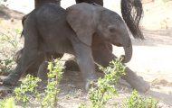 Ελεφαντάκι κάνει τα πρώτα του αδέξια βήματα