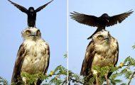 Κοράκι κάθεται στο κεφάλι αετού (7)