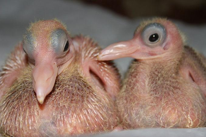 Πως είναι τα μωρά των περιστεριών και γιατί δεν τα βλέπουμε ποτέ; (3)